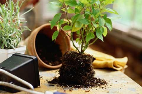 rempoter une plante en pratique. Black Bedroom Furniture Sets. Home Design Ideas