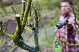 La bouillie bordelaise en pratique - Traitement arbres fruitiers avec bouillie bordelaise ...